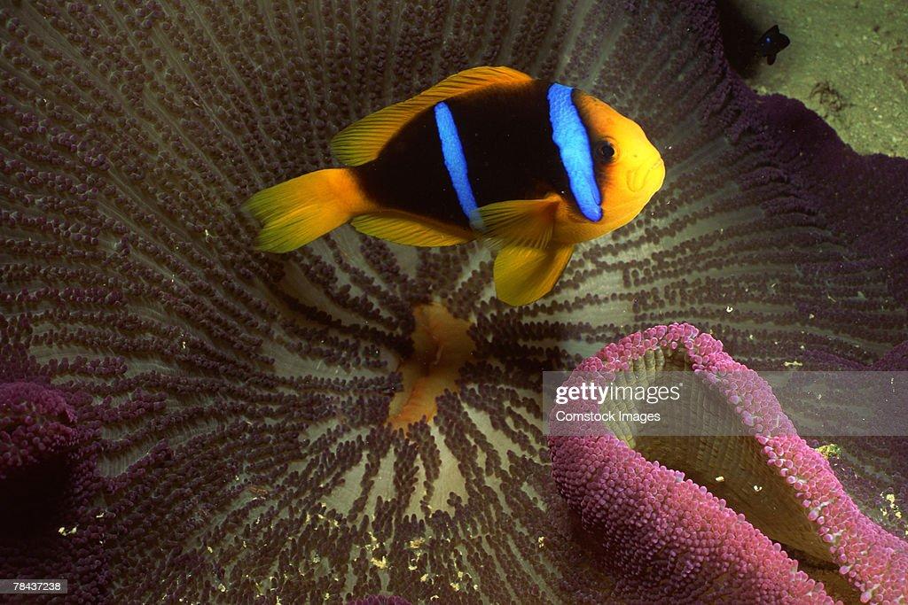 Orange-fin clownfish and host sea anemone : Stockfoto