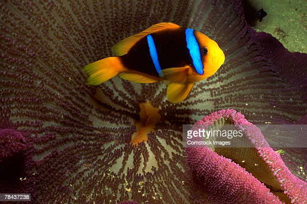 orange-fin clownfish and host sea anemone - orange fin clownfish stock photos and pictures