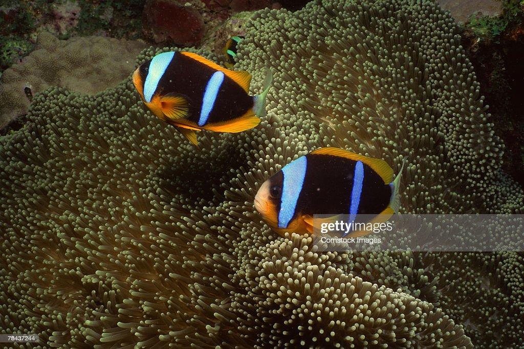 Orange-fin clownfish and sea anemone : Stock Photo