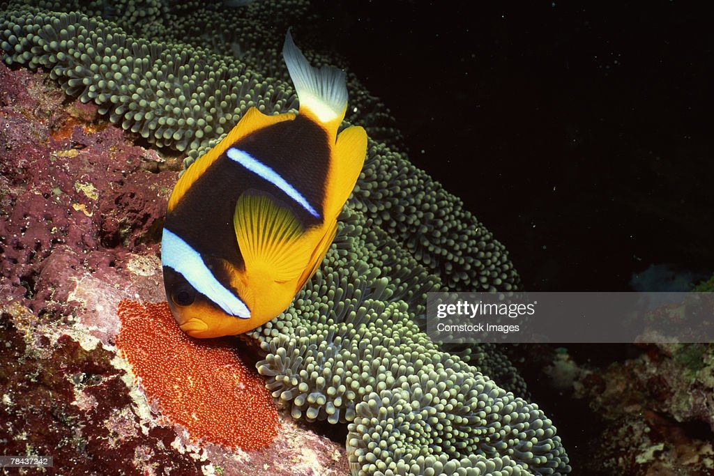 Orange-fin clownfish by carpet sea anemone : Stockfoto