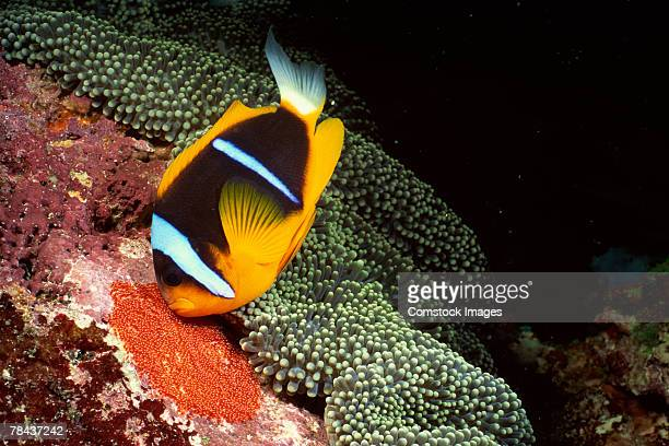 orange-fin clownfish by carpet sea anemone - orange fin clownfish stock photos and pictures
