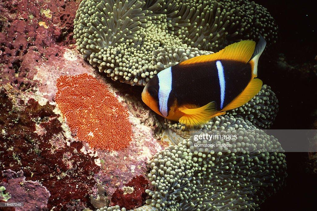 Orange-fin clownfish by sea anemone : Stockfoto