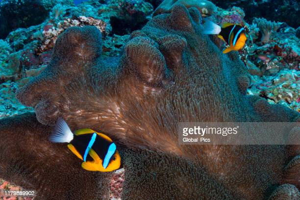 orange-fin anemonefish (amphiprion chrysopterus) - palau, micronesia - orange fin clownfish stock photos and pictures