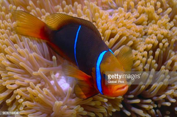 orange-fin anemonefish (amphiprion chrysopterus) - orange fin clownfish stock photos and pictures
