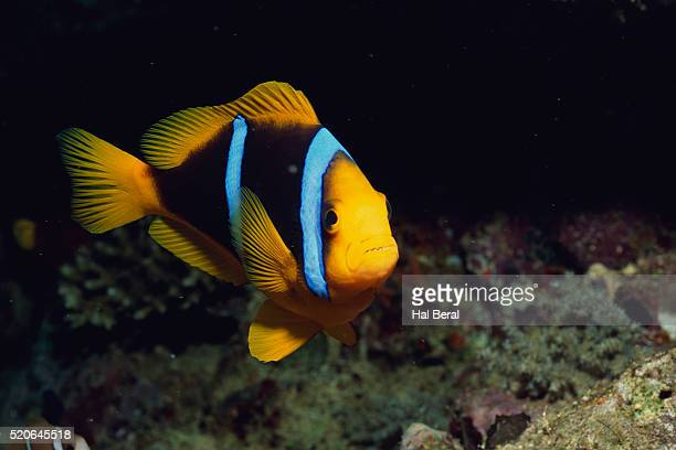 orange-finned anemone fish - orange fin clownfish stock photos and pictures
