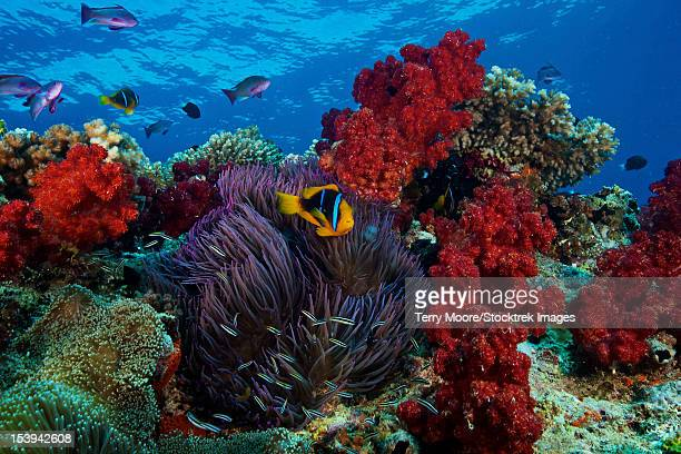 orange-finned clownfish and soft corals on colorful reef, fiji. - orange fin clownfish stock photos and pictures
