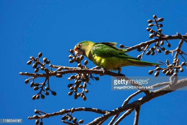 orange-fronted parakeet (eupsittula canicularis) sits on a branch, rincon de la vieja national park, guanacaste province, costa rica - papagayo guanacaste fotografías e imágenes de stock