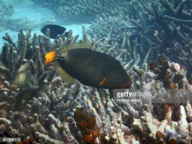 Orange-lined Triggerfish or Orange-striped Triggerfish (Balistapus undulatus)