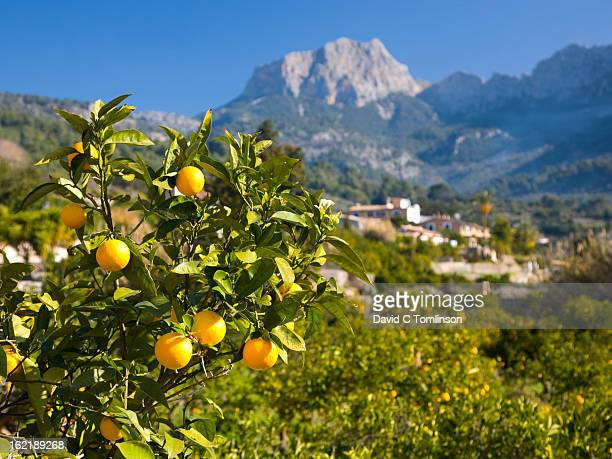 oranges and puig major, soller, mallorca, spain - majorca stock pictures, royalty-free photos & images