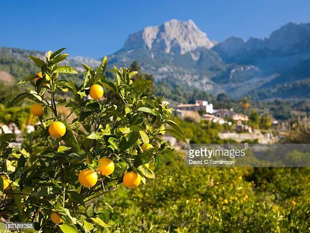Oranges and Puig Major, Soller, Mallorca, Spain