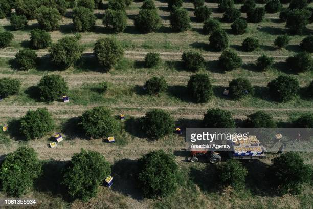 Oranges are being loaded on a truck after the harvest in Finike district of Antalya Turkey on November 14 2018 Finike the orange paradise is known to...