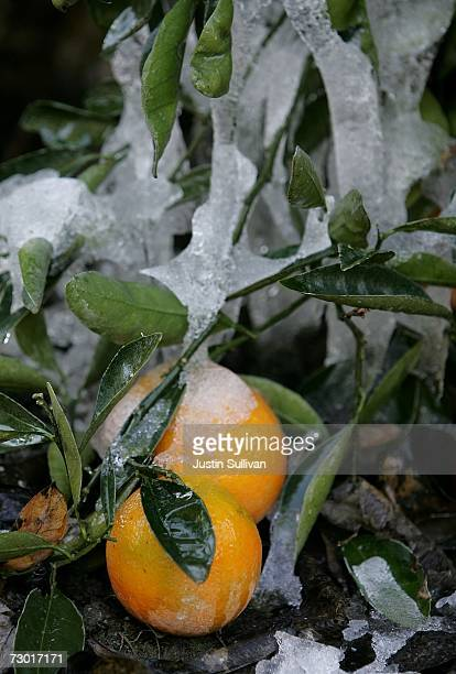 Oranges are covered with ice at the Keith A Nilmeier Farms January 16 2007 in Fresno California An estimated 70% of California's citrus crops have...