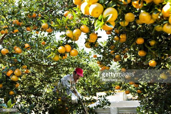 Orange Juice Futures Gain As Weather May Damage Citrus Crops Photos And Images Getty Images