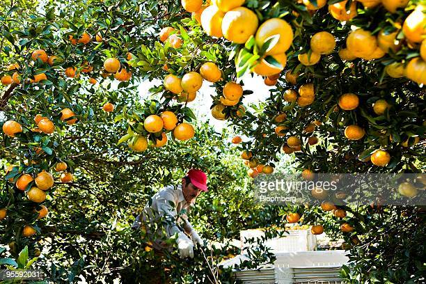 Oranges are picked at an orange grove in Winter Garden Florida US on Tuesday Jan 5 2010 Orangejuice futures jumped by the most allowed by ICE Futures...