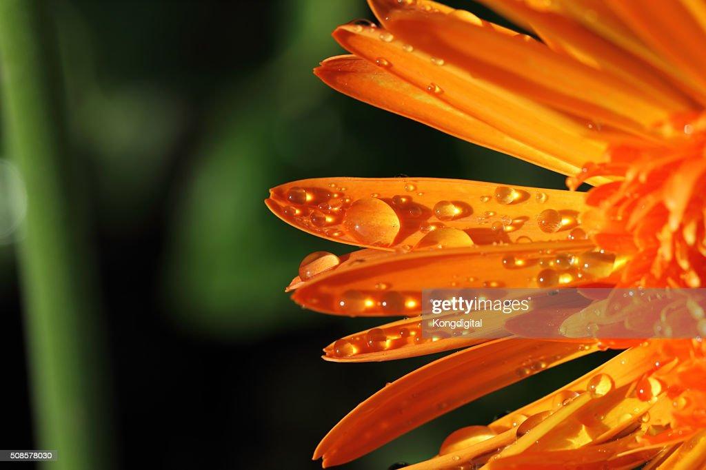 oranges flower : Stock Photo