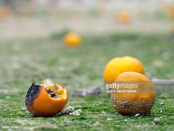 Oranges fruits rotting in the soil of an agricultural field
