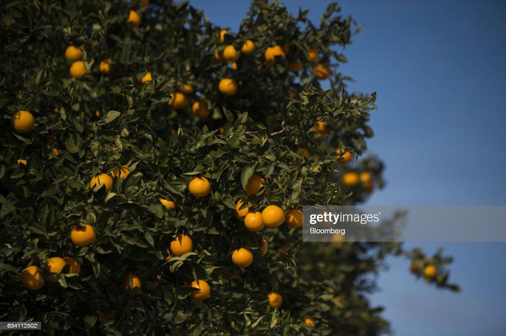 Orange Harvest And Processing At Antonio Llusar Y Cia S A News Photo