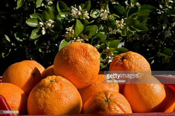 Oranges growing in the area around Valencia in Spain is famous for producing high quality fruit At the Del Bajo Turia CoOperative they produce 11000...