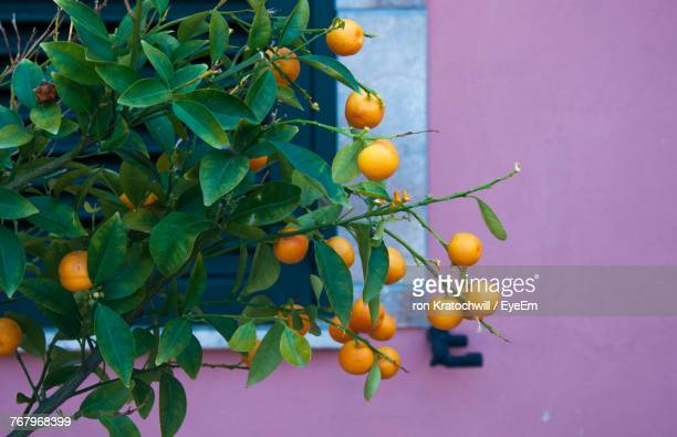 oranges growing on tree against wall - catania stock photos and pictures