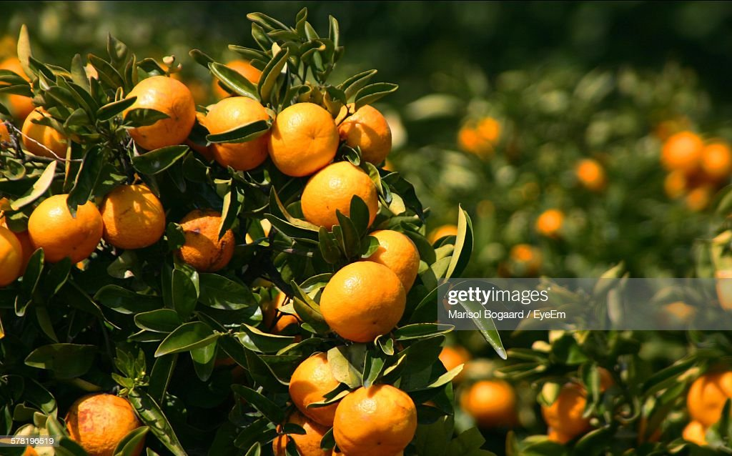 Oranges Growing On Tree At Orchard : Stock Photo
