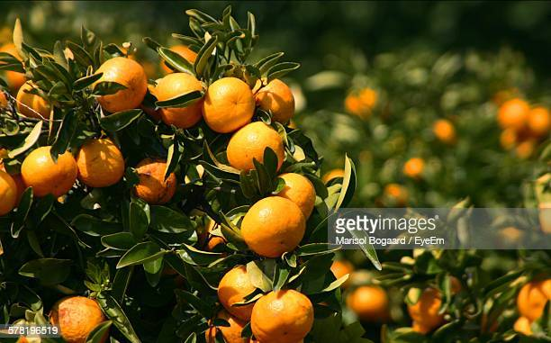 oranges growing on tree at orchard - orange orchard stock photos and pictures