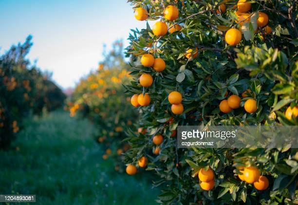 sinaasappelen die op boomboomgaard groeien - oranje stockfoto's en -beelden