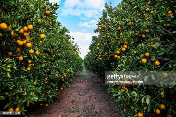 oranges growing on trees in farm - naranja fotografías e imágenes de stock