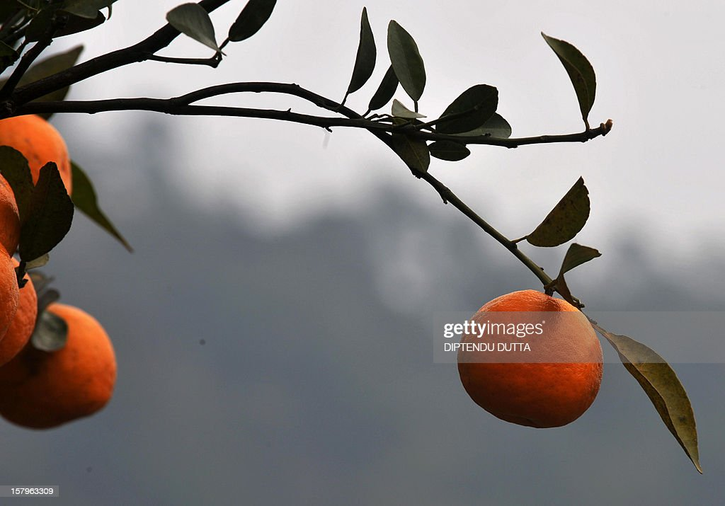 Oranges hang from a branch in the Indian village of Latpanchar some 40kms north from Siliguri on December 8, 2012. Latpanchar plantation was established in 1943 with a focus upon delivery of natural Quinine from the Cinchona medicine plants. During the subsequent decades, the plantation also diversified into a variety of crops like Cinchona, Ipecac and Mandarin Orange, which also drew major revenue for the region. AFP PHOTO/ Diptendu DUTTA