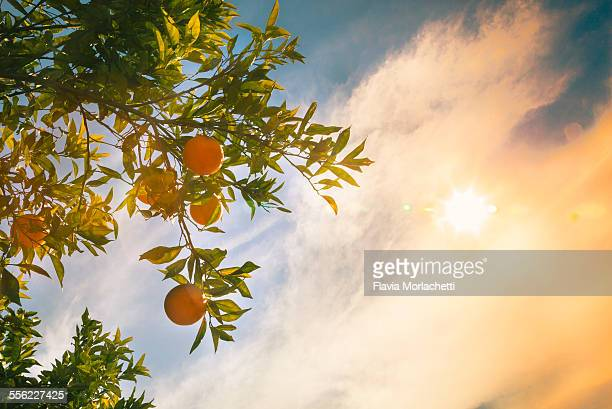 Oranges hanging from a tree with sun