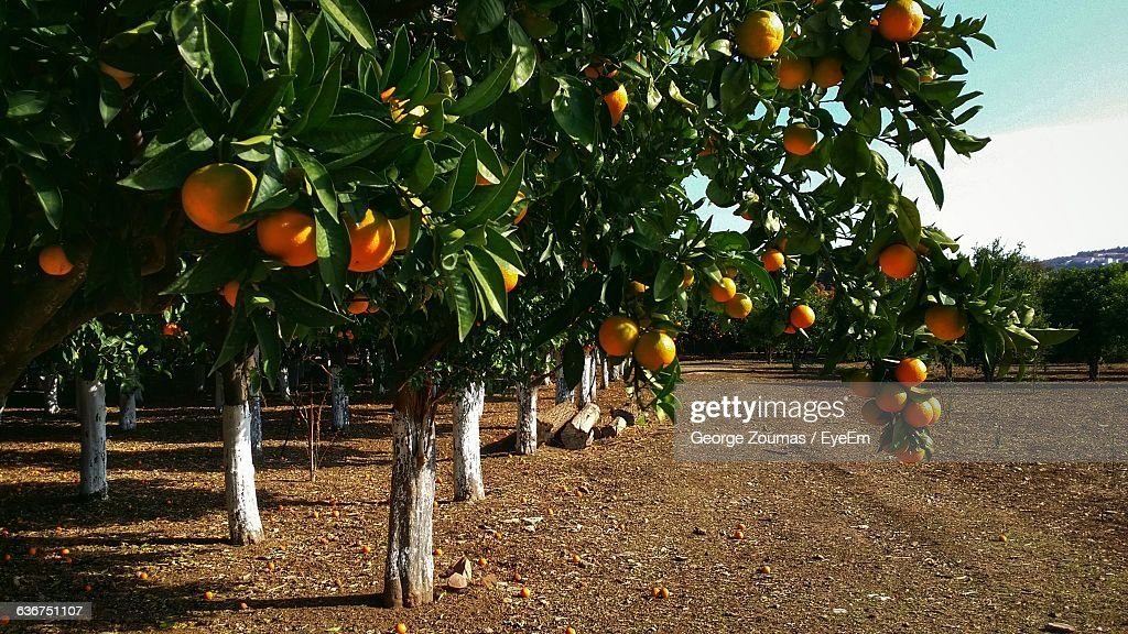 Oranges Hanging On Branches : Stock Photo