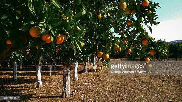 oranges hanging on branches - orange orchard stock photos and pictures