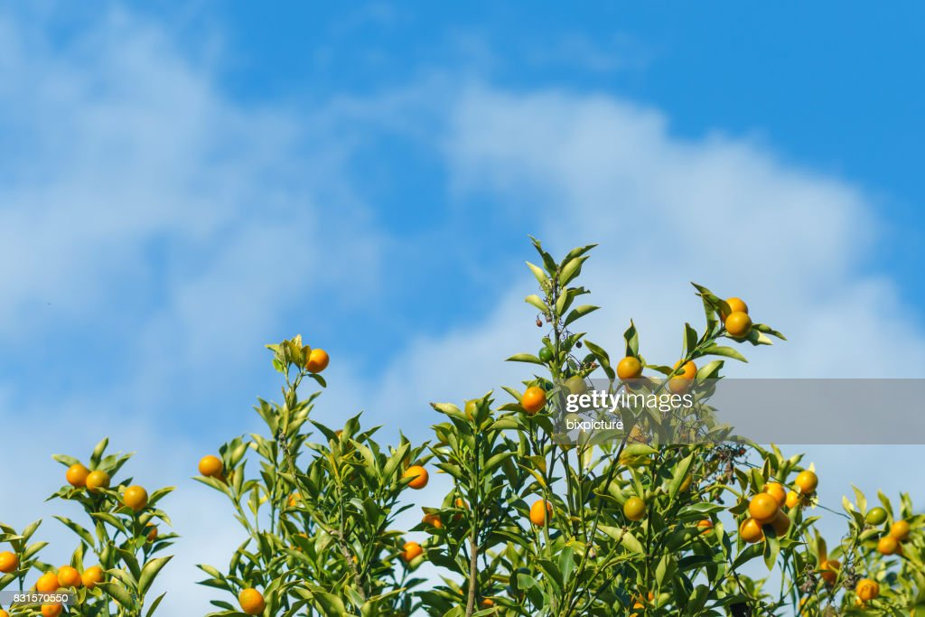 Oranges hanging tree with cloud and blue sky. : Stock Photo