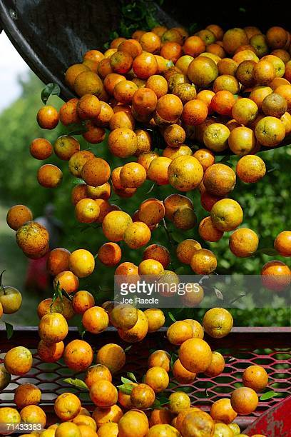 Oranges harvested by workers for Sorrells Brothers Packing Co Inc are poured into a truck for transport from the fields July 13 2006 in Arcadia...