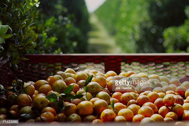 Oranges harvested by workers for Sorrells Brothers Packing Co Inc wait for transport from the fields July 13 2006 in Arcadia Florida For the second...