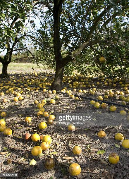 Oranges lie rotting on the ground in a field after Hurricane Wilma tore through the area on October 24 causing extensive damage to the state's citrus...