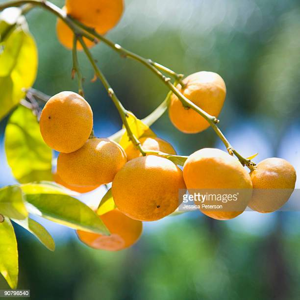 oranges on a tree branch - studio city stock pictures, royalty-free photos & images
