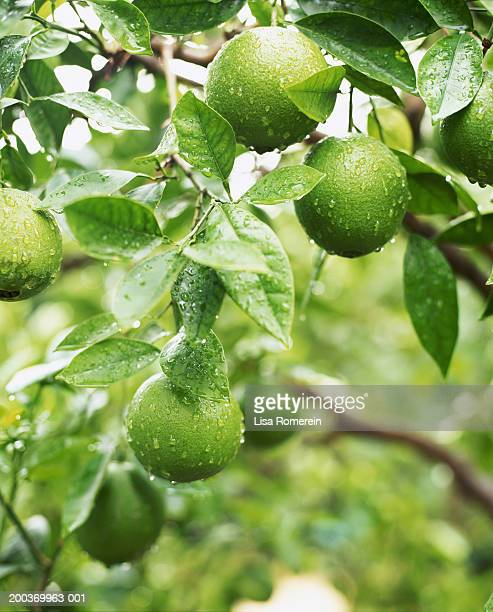 Oranges on tree after rainstorm