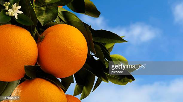 oranges on tree - orange blossom stock photos and pictures