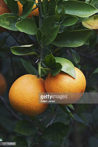 oranges on trees in orange grove, orlando, florida, usa - orange grove stock photos and pictures
