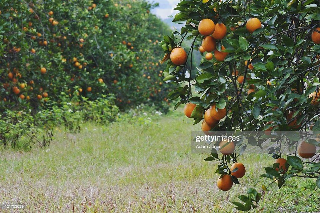 Oranges on trees in orange grove, Orlando, Florida, USA : Stock Photo
