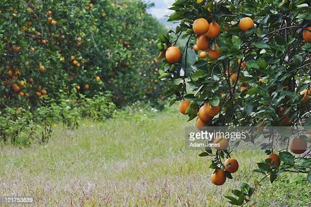 oranges on trees in orange grove, orlando, florida, usa - orange grove stock photos and pictures