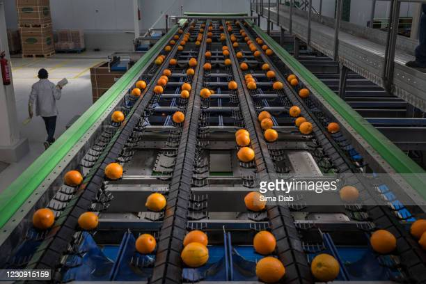 Oranges pass through an inspection belt that sorts the oranges based on imperfections on January 31, 2021 in Cairo, Egypt. For the second year in a...