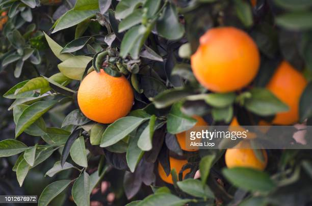 oranges - castellon province stock pictures, royalty-free photos & images