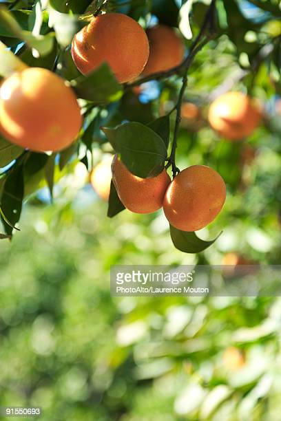 Oranges ripening on branch