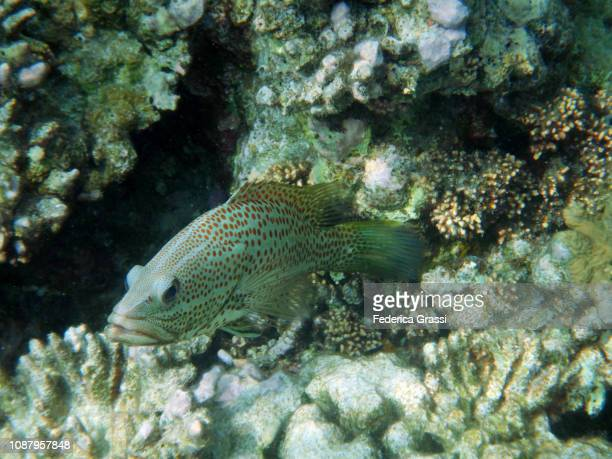 orange-spotted grouper (epinephelus coioides) - grouper stock pictures, royalty-free photos & images