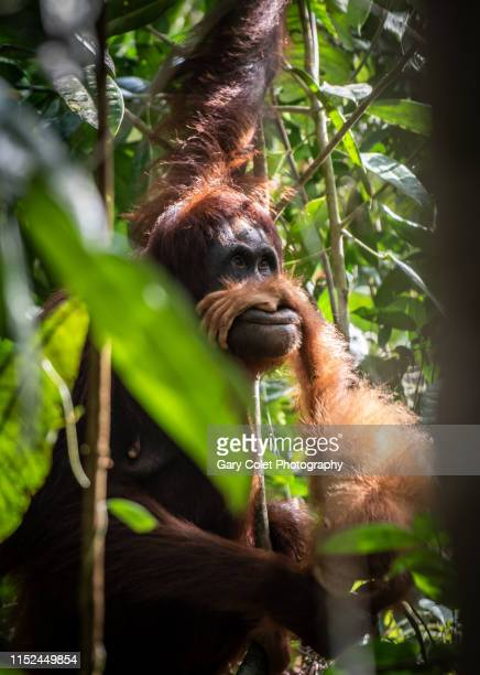 orang-utan adult with baby's hand over her mouth - sarawak state stock pictures, royalty-free photos & images