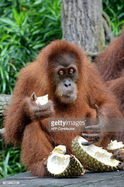 Orangutan Ah Meng enjoys durian fruits to mark Singapore zoo's 44th year anniversary in Singapore on June 27 2017 The Singapore Zoo celebrated its...