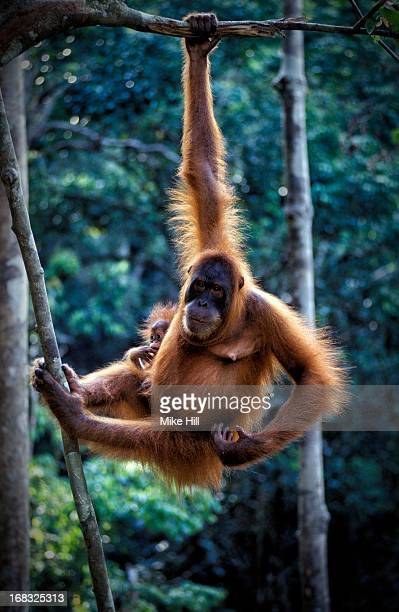 Orangutan and baby hanging from tree branch