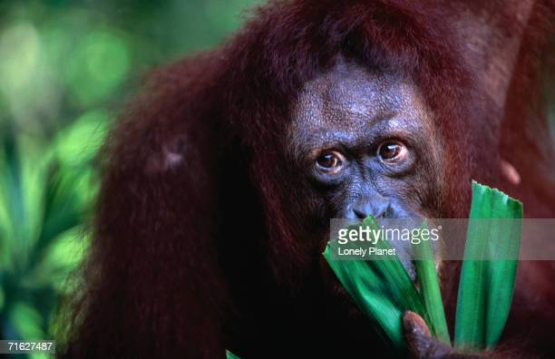 orang-utan at singapore zoological gardens, singapore, singapore - zoology stock pictures, royalty-free photos & images
