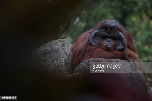 Orangutan at the Zoo Jakarta on July 11 2018 The evolution of the orangutan has been more heavily influenced by humans than was previously thought...